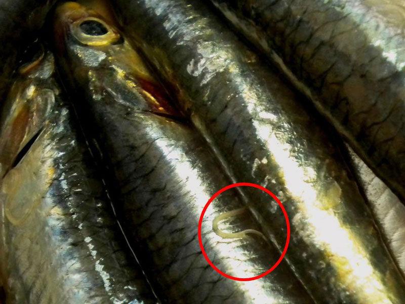 Глисты в соленой рыбе