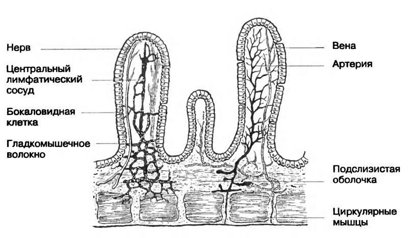 Строение кишечной ворсинки