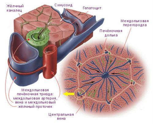 Гепатоцит