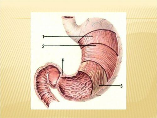 Мышечный слой желудка