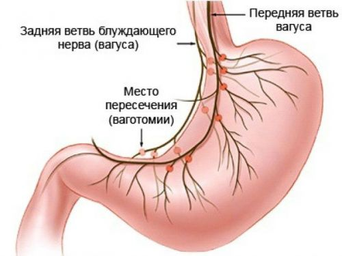 Иннервация желудка