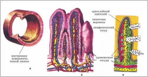 Стенка кишечника