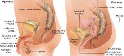 Кишечник и мочеполовая система