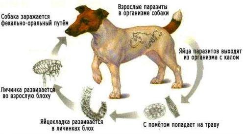Собака как источник гельминтов