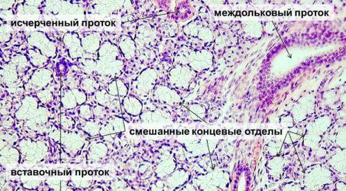 Ткань слюнной железы
