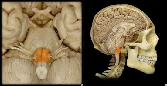 Продолговатый мозг