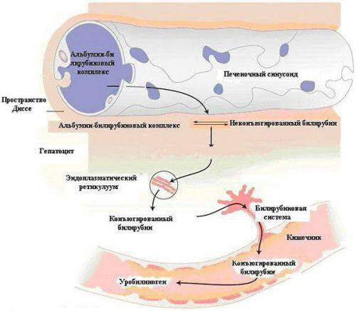 Процесс вывода билирубина